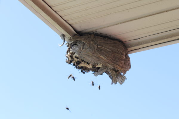 Bald-faced hornets and nest