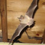 Bat flying in attic