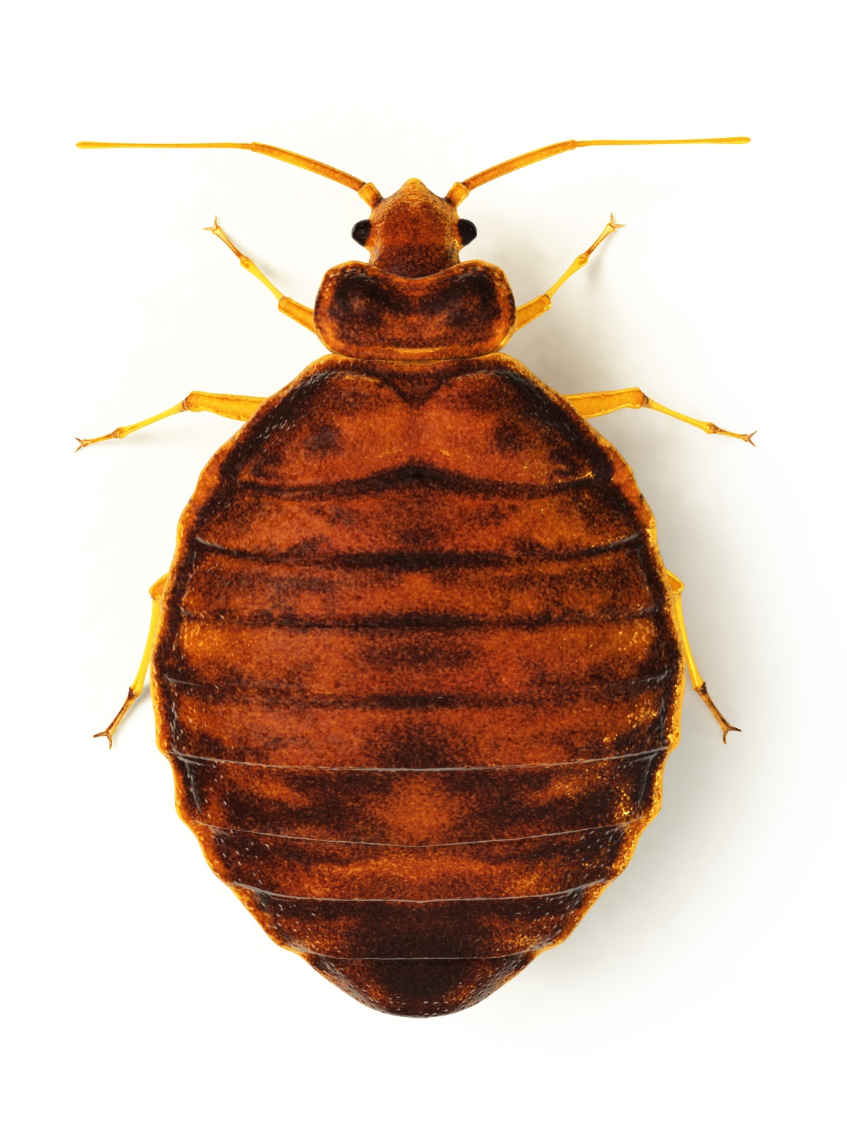 pest solutions one bed bug about hole facts bugs in