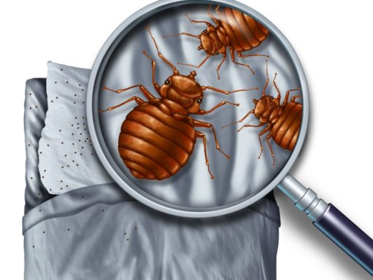 bed bug graphic