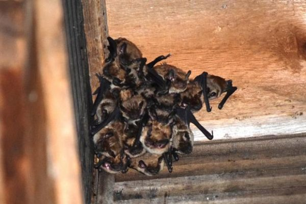 Big brown bat maternity colony.