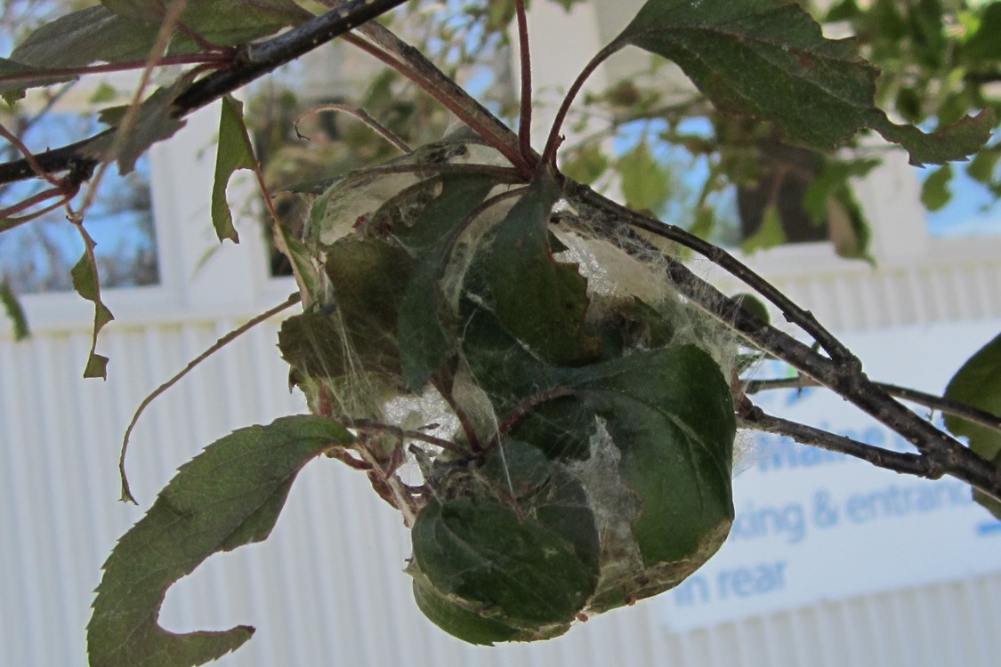 Browntail moth cocoon