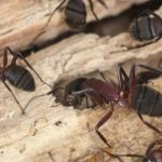 Carpenter ant infestation in wood