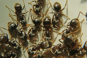 Black Carpenter Ant Cluster