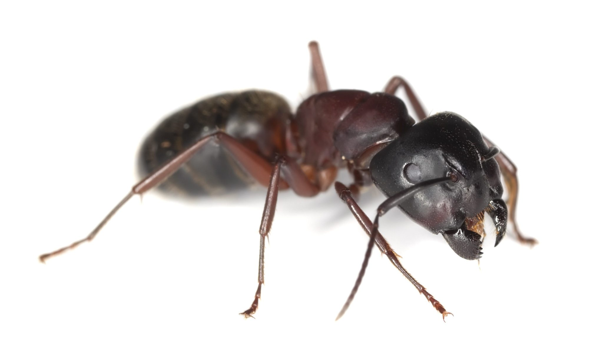 Carpenter Ant Damage To Your Home Wood Destroying Insects