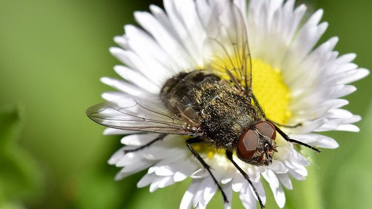 Cluster fly on daisy