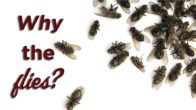 Why the flies? dead black flies