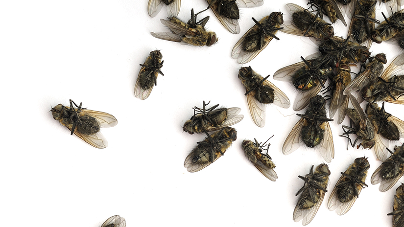 Cluster Fly Control and Removal - Modern Pest