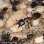 Swarm of carpenter ants show the difference between them and termites.