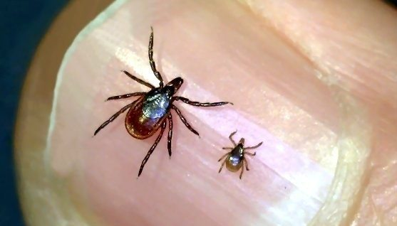 Adult Female and Nymph Deer Tick, Courtesy of Griffin Dill, UMaine Cooperative Extension.