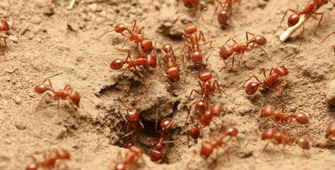 Why the Fuss over Fire Ants?