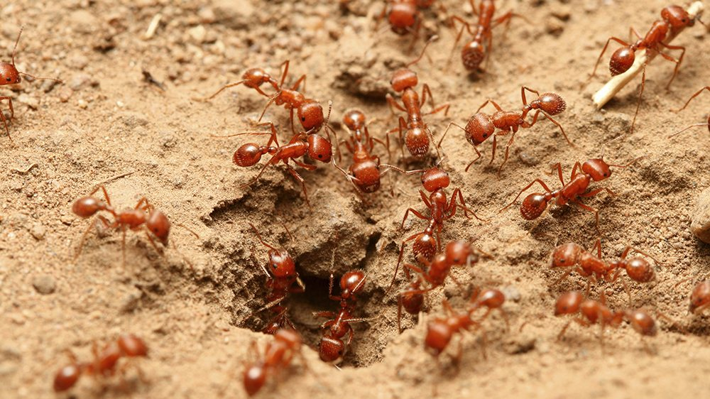 Image result for red ants