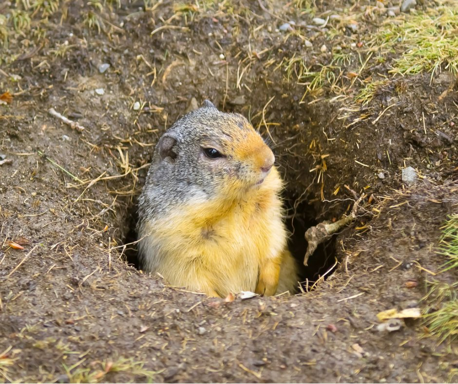 A gopher sits in his burrow hole