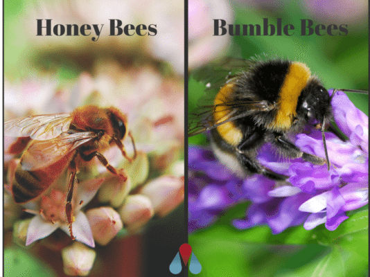 Bumblebees vs. Honeybees:  What Are the Differences?