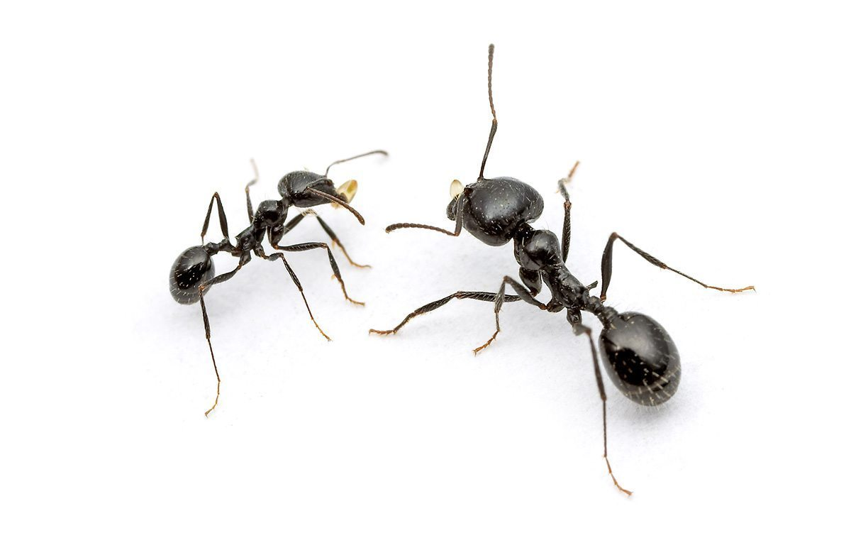 Black Ants In My Kitchen