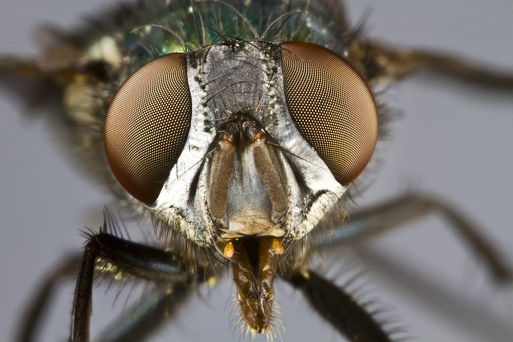Detailed image of a fly's face