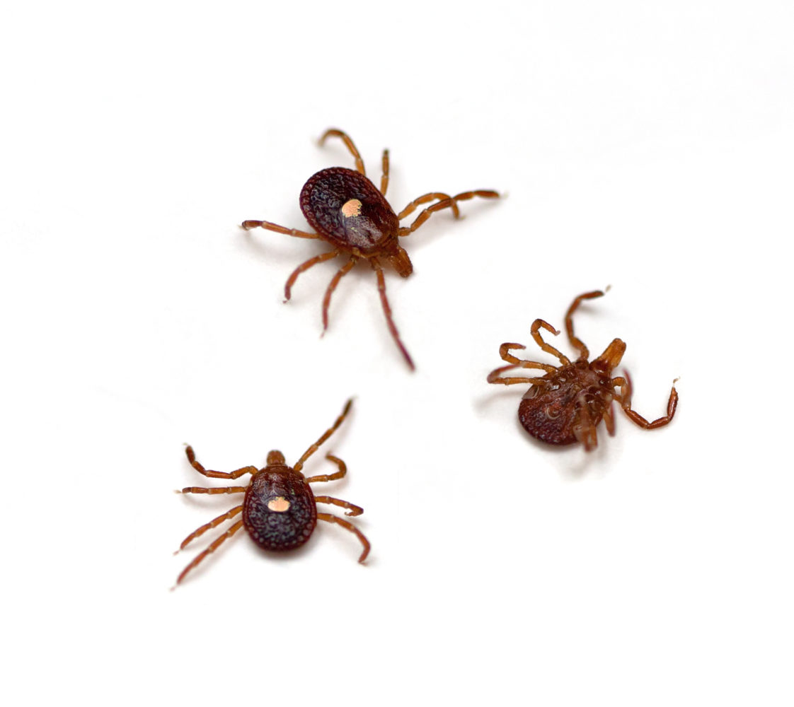three lone star ticks