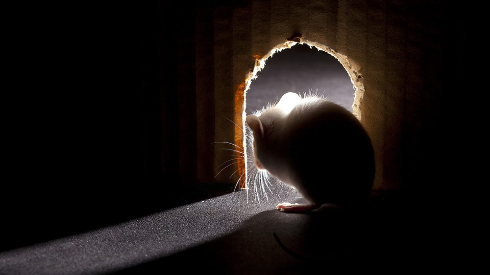 Why Do I Have Mice in my Home? | Getting Rid of House Mice