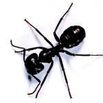 carpenter ant damage to your home wood destroying insects. Black Bedroom Furniture Sets. Home Design Ideas