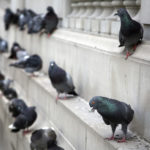 Pigeon infestation