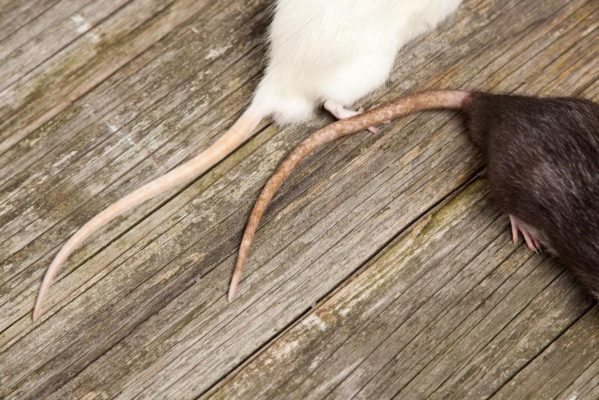Rid Your Restaurant of Rodents Before Restaurant Week
