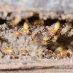Super Termites may be making their way north to Maine