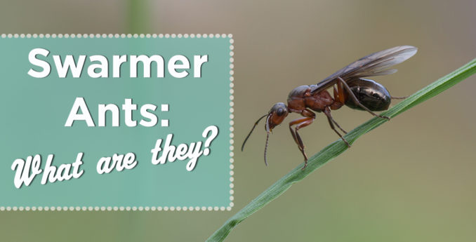 Swarmer Ants: What are they?