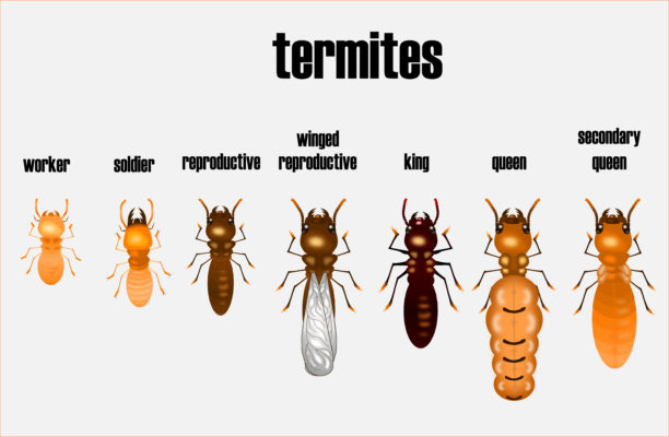Termite life cycle illustration