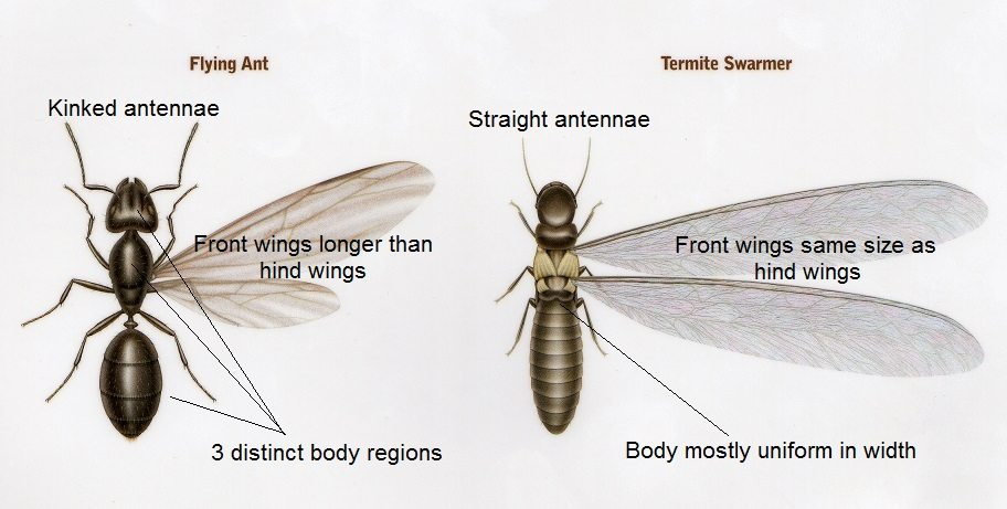 If you see swarmers of either type in your home  then you should be  concerned  This is a sure sign that a nest is very close by  If you see  swarmers. Winged Termites and Flying Ants   Know the Difference