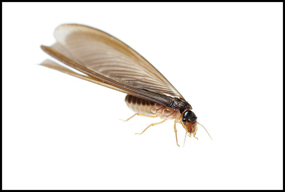 Flying Ant Vs. Termite – Identify What is Termite or Ant ...