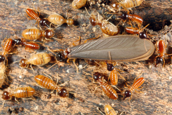 3 Key Differences between Winged Termites and Flying Ants