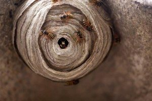 Wasp Control: Keep Your Backyard Wasp Free