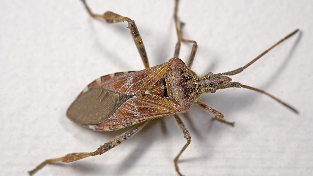 Closeup of a Western Conifer Seed bug on a wall