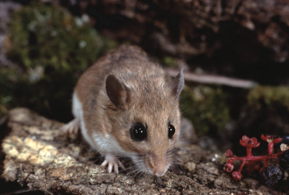 Could the White-footed Mouse Help End Lyme Disease?