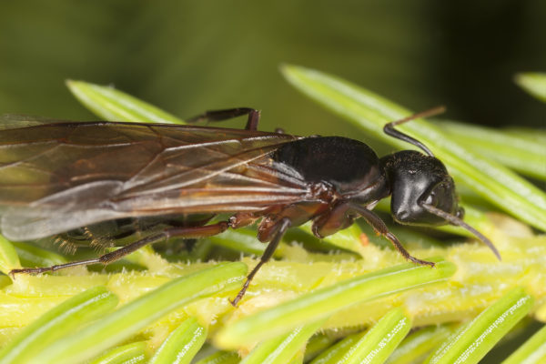 Are Those Winged Carpenter Ants in Your Home?