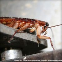 American roach identification for pest control in ME, MA, and NH