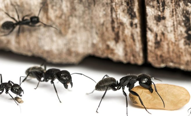 Prevent Carpenter Ants Naturally