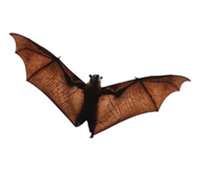 Bat identification for pest control in ME, MA, and NH