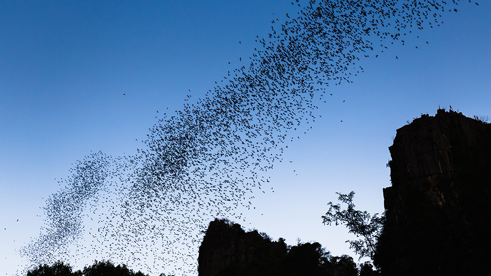 Bats flying in a swarm