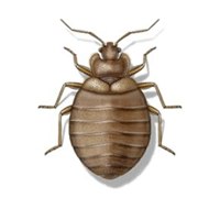 Bedbug identification for pest control in ME, MA, and NH