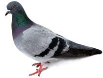Pigeon identification for pest control in ME, MA, and NH