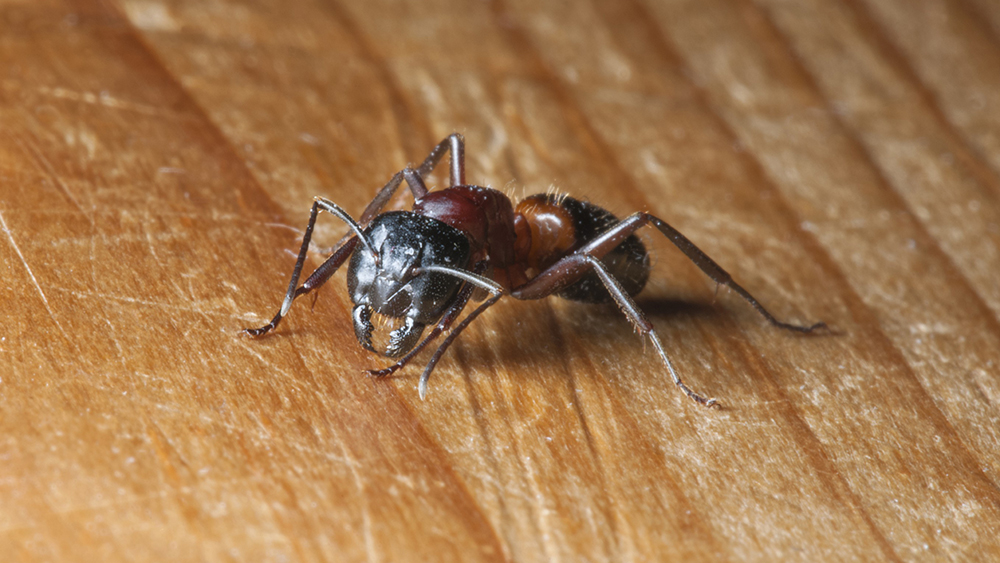 Carpenter Ant Damage And Getting Rid Of An Infestation