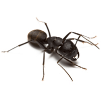 Protect your home from carpenter ant infestations