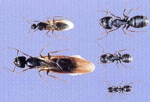 Carpenter Ant Body Lengths