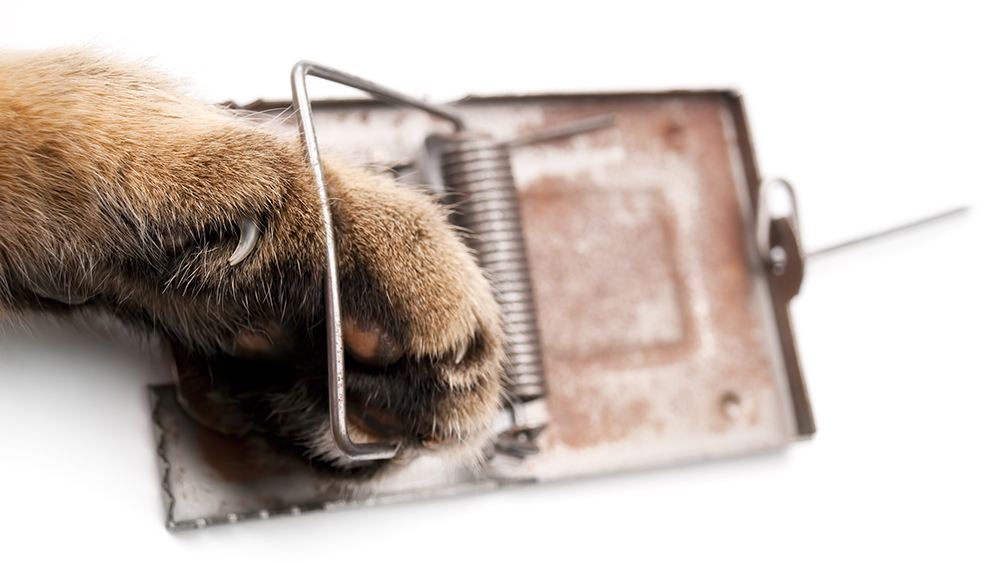 Cat paw in a mousetrap on a white background.