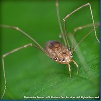 Daddy Long-legs Spiders