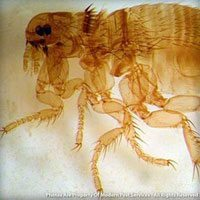 Dog flea identification for pest control in ME, MA, and NH
