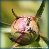 Field ants on plant bud