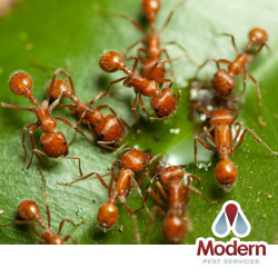 Red Ant Control European Fire Ant Infestation In Maine