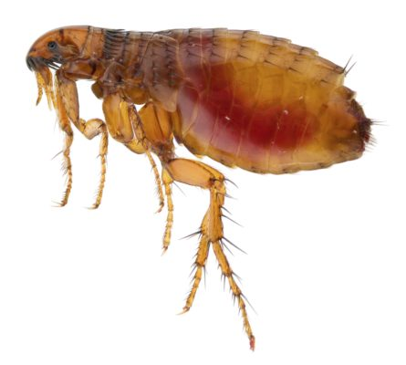10 Freaky Flea Facts